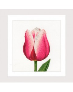 Red/white Triumph tulip
