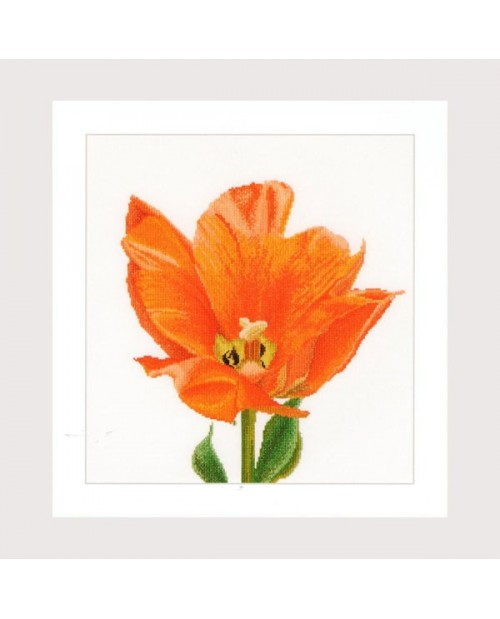 Orange Triumph tulip